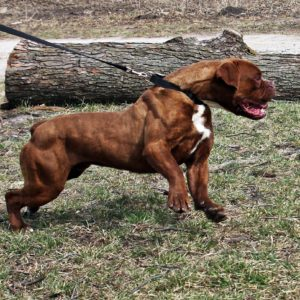 Brown Olde English Bulldogge Outdoors