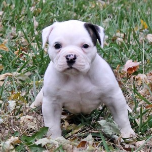 White English Bulldogge Puppy Outdoors