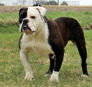 The best Olde Bulldogge