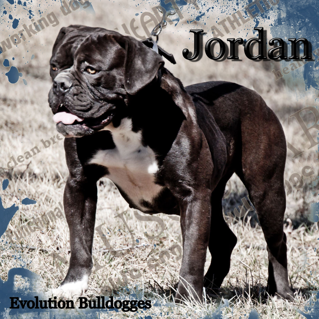 Evolutions Jordan Olde English Bulldogge