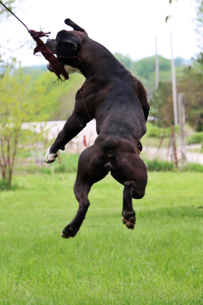 Active English Bulldogge Playing Outdoors