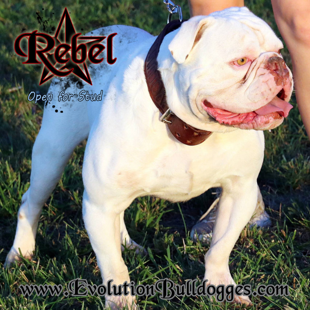 Evolution's Rebel - Olde English Bulldogge stud