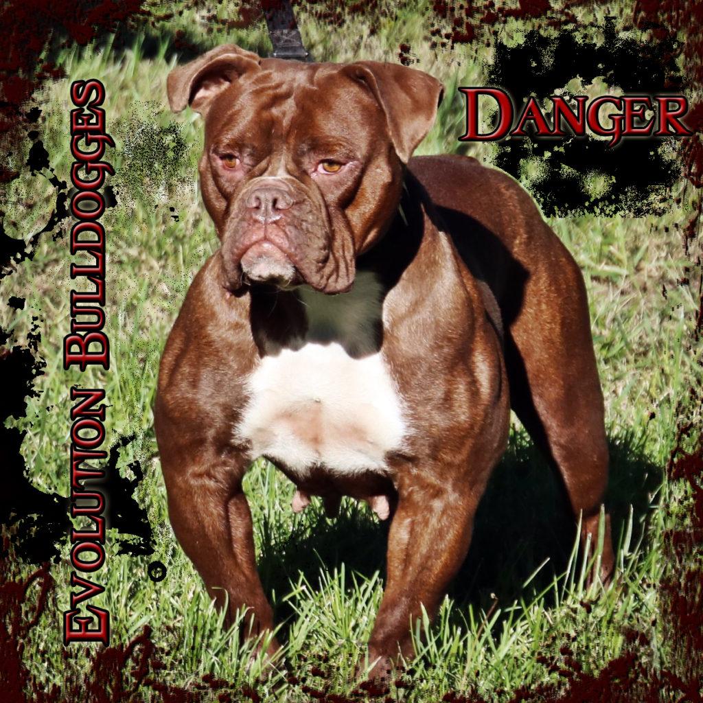 Evolution's Danger - female chocolate Bulldogge