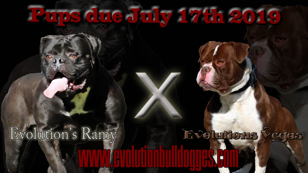 Bulldog Breeding Announcement